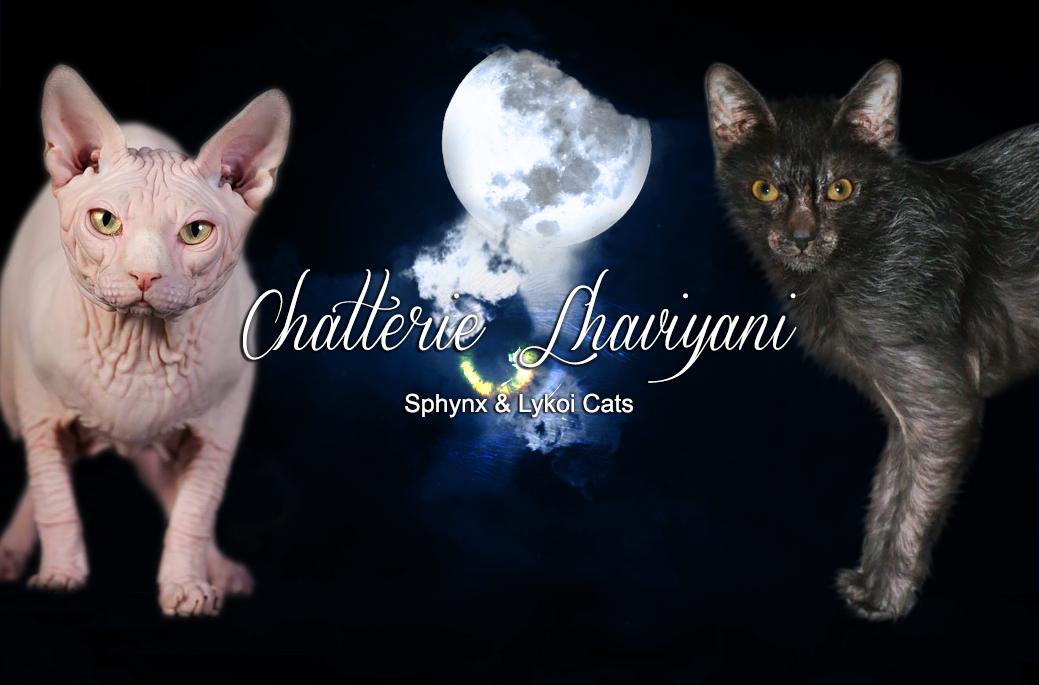 Chatterie de Sphynx Lhaviyani