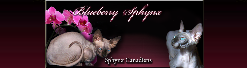 Chatterie canadienne de BLUEBERRY SPHYNX